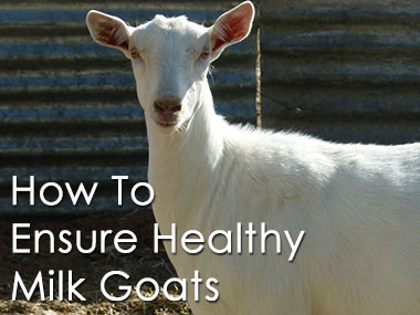 Ensuring your Dairy Goat's Health
